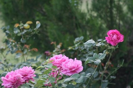 Wild roses growing at Ukhimath