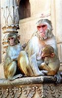 Monkeys of Vrindavan, India