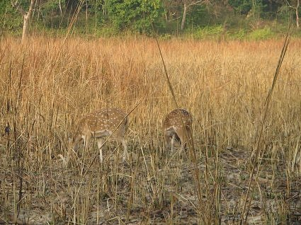 Spotted deer at Bijrani, Jim Corbett National Park, India