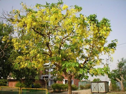 Amaltas tree in bloom India