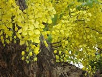 Amaltas blooms yellow