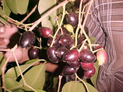 Jamun fruit India