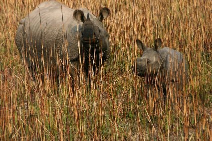 One horned rhino at Dudhwa National Park