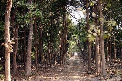 Sal trees at Dudhwa National Park