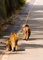 Red bottomed rhesus monkey