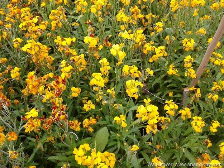 Preparing my rooftop garden for wall flowers erysimum cheiri yellow wall flower lucknow india 2 mightylinksfo
