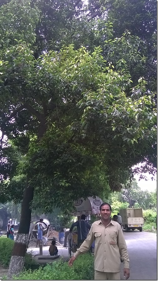 Maulshree tree, La Martiniere Girls' College, Lucknow