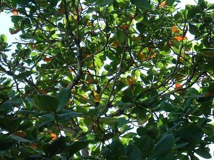 tropical indian almond badam tree