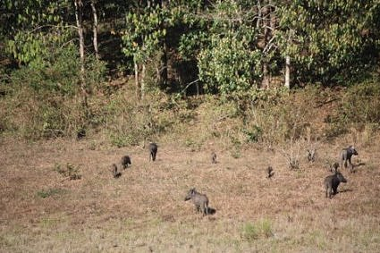Wild boar in their natural home, Thekkay, Periyar National Park, Kerala, India