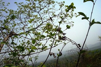 Flower trees on Chandi devi hill, Haridwar