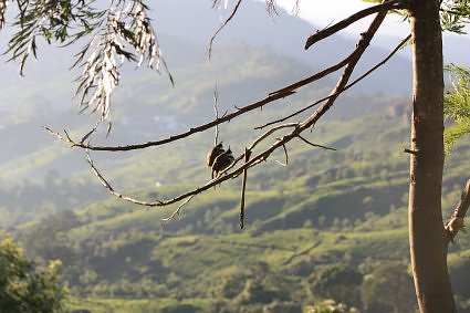Birds in Munnar Tea gardens in Idduki district of Kerala