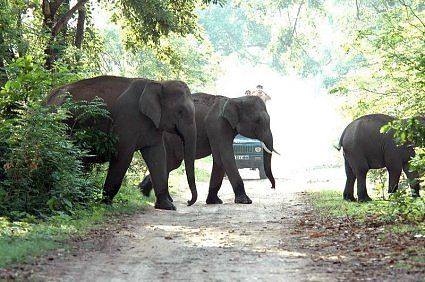 Tusker in elephant herd crossing a track at Dhikala, Jim Corbett National Park, Uttarakhand, India