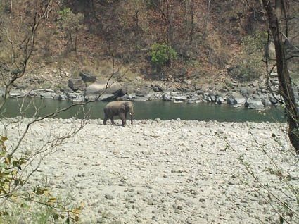 Elephant on the bank of river Ram Ganga, Dhikala, Jim Corbett National Park