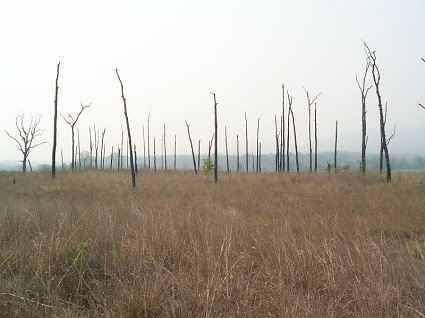Grassland at Dhikala in summer, ideal for tigers to camoflouge in as they hunt
