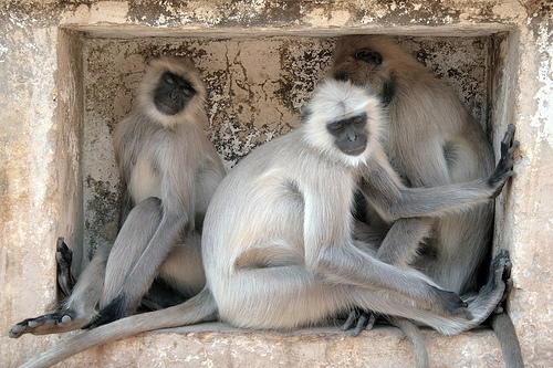 Black faced langoor monkeys at hanuman dhara