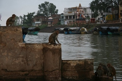 Monkeys on River Mandini's bank Chitrakoot