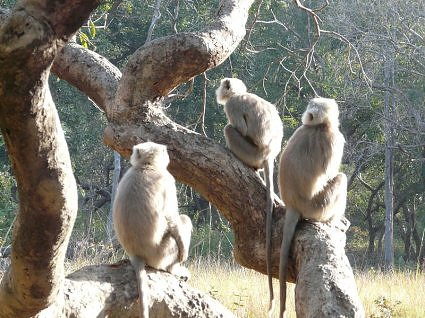 Monkeys at Jim Corbett National Park