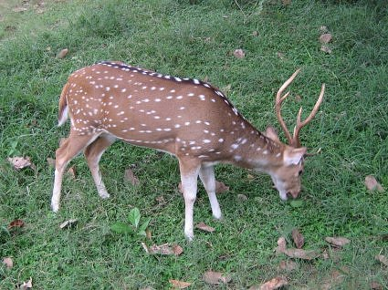 Spotted deer grazing at Jim Corbett National park