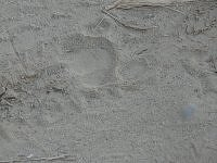 Tiger's pugmark, Jim Corbett National Park