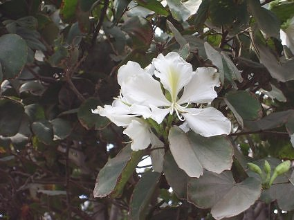 White kachnar bloom