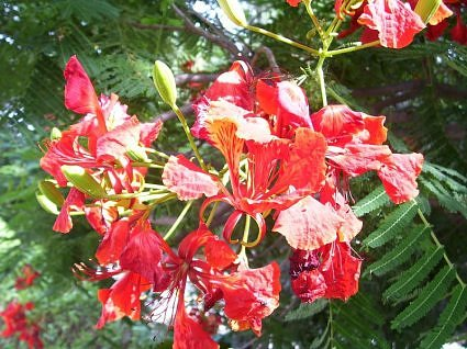 Gulmohar tree in bloom