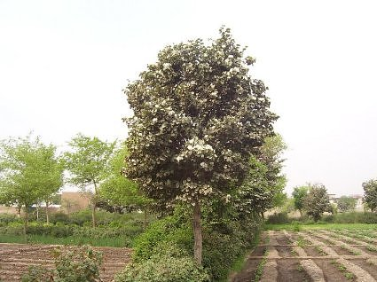White kachnar tree