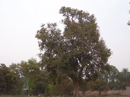 Jamun trees in the Indian subcontinent