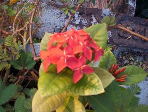 Ixora on my rooftop garden, Lucknow, India