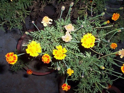 Marigold in bloom in November, Lucknow, India
