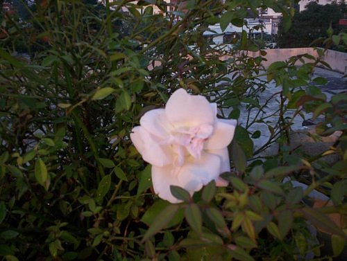 White rose bush in rooftop garden, India