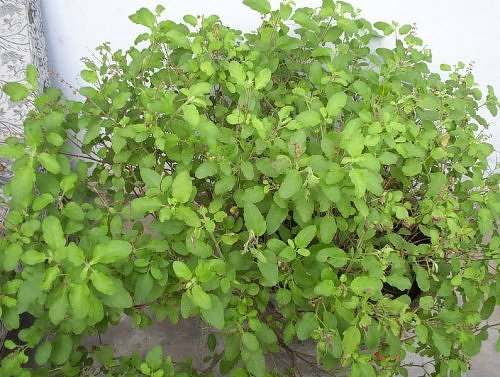 rama tulsi in kartik, Lucknow, India