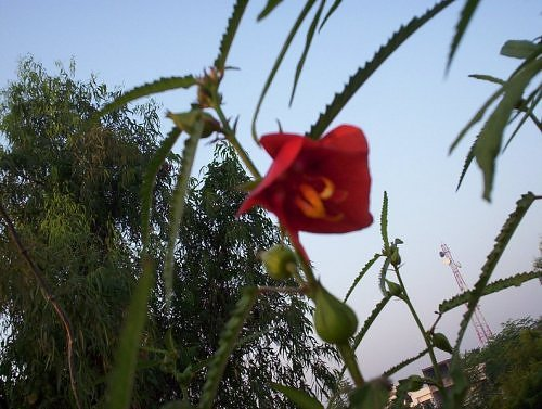 red flower in my rooftop garden, Lucknow, India