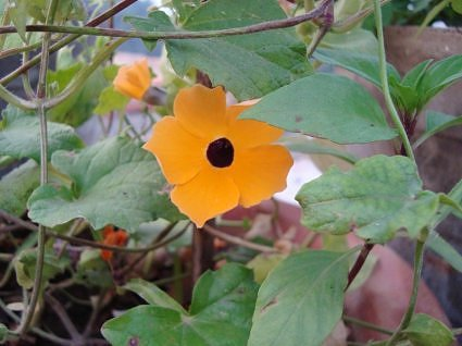 Thunbergia or little suzzy