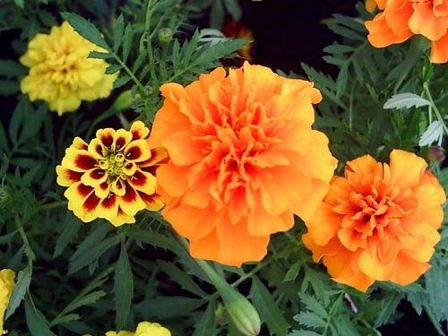 Celebrating basant panchmi a spring festival in uttarkashi india yellow marigold flowers used in basant panchmi festival india mightylinksfo