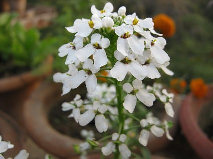 Candytuft flowers in garden