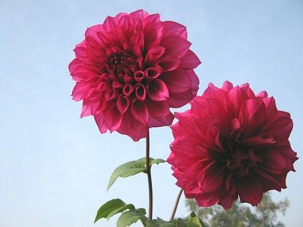 Dahlias in rooftop garden, india