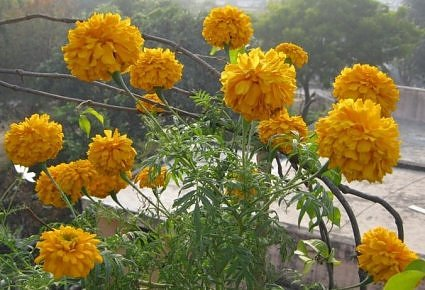 Giant Marigold in rooftop garden, india