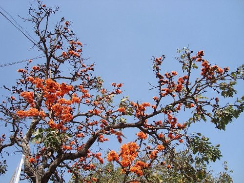Palash, Dhak, tesu flowers