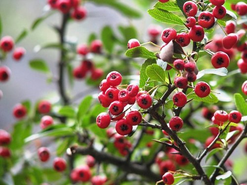 Wild red berry tree, Himalayan flora