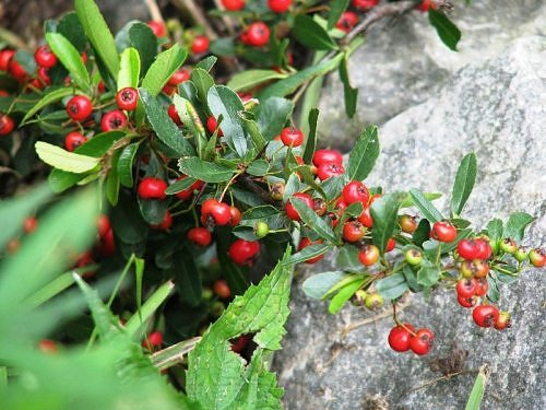 Berries at Valley of Flowers, Garhwal Himalaya