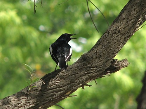 Asian Magpie Robin at IITK, in Kanpur, Gangetic plains, North India