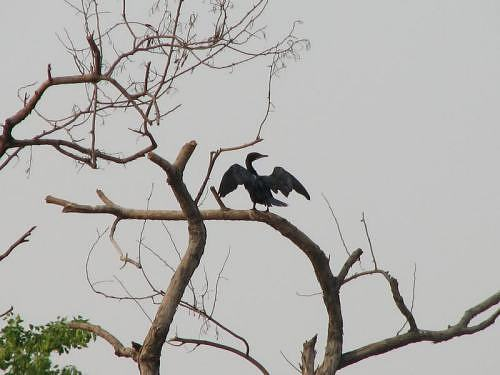 Black cormorant near IITK, in Kanpur, Gangetic plains, North India