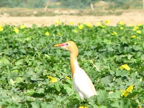 Cattle egret near IITK, in Kanpur, Gangetic plains, North India