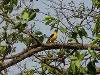Golden oriole near IITK, in Kanpur, Gangetic plains, North India
