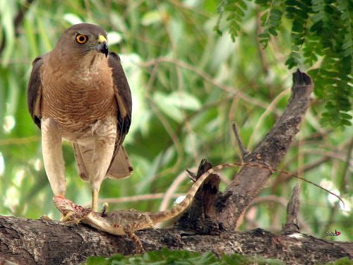 Shikra at IITK, in Kanpur, Gangetic plains, North India, for birdwatching