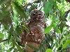 brown owl at IITK, in Kanpur, Gangetic plains, North India, birdwatching