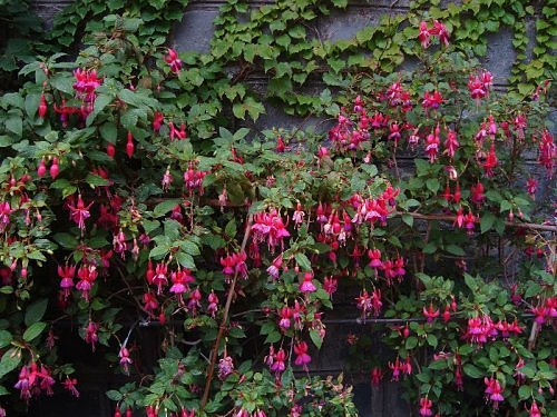 Fuschia, Flora of Nainital, The Naini Retreat, Kumaon Himalaya