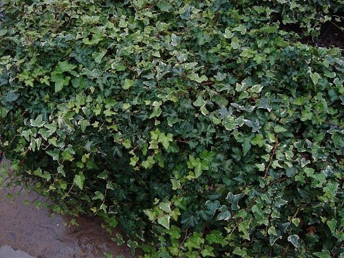 Ivy creeper in a garden at Nainital