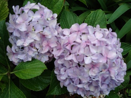 Hydrangea, Flora of Nainital, The Naini Retreat , Kumaon Himalaya