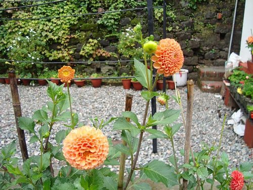 Dahlia, Bulbs and tubers, Flora of Nainital, The Naini Retreat, Kumaon Himalaya